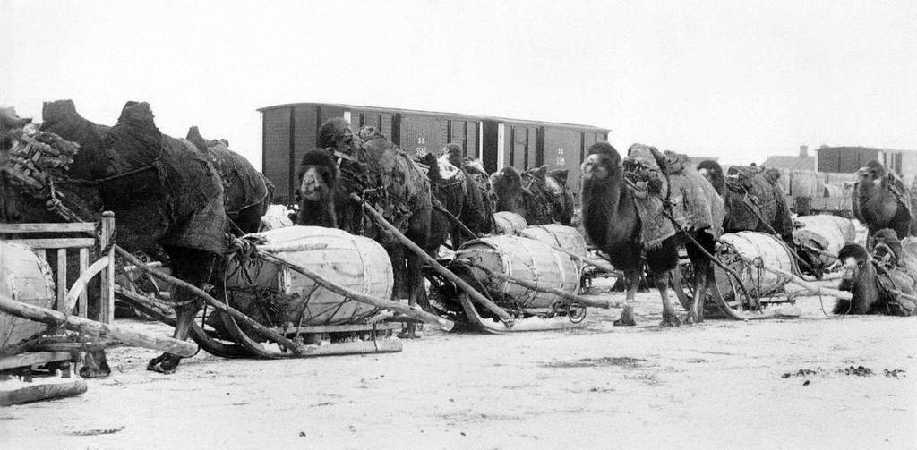 Доставка товаров на станцию «Курган» из степного края на верблюдах, 1892—1898 годы (фото: Государственный исторический му